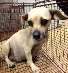 VERY PREGNANT. READY TO POP! #A476692 Release date (rescue only) 12/16 I am a female, tan Chihuahua - Smooth Coated. Shelter staff think I am about 1 year old. I have been at the shelter since Dec 09, 2014.  —  City of San Bernardino Animal Control-Shelter. https://www.facebook.com/photo.php?fbid=10204100430488604&set=a.10203202186593068&type=3&theater