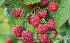 In vielen Obstgärten kann man im Juli Sommer-Himbeeren ernten. Mit ein wenig Pflege bringen sie reichlich süße Früchte, aus denen sich unter anderem herrliche Kuchen und Konfitüre machen lassen.