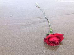 Red Rose, one of four washed up on the beach. I imagine there is a ...