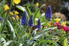 Hyazinthen, Garten, Gartenblumen, Frühling
