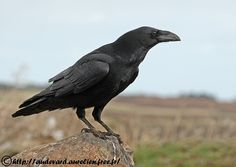 OUESSANT DIGISCOPING - Grand Corbeau - Northern Raven - Corvus corax
