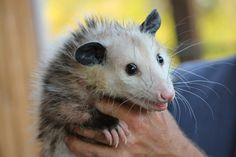 An opossum was reportedly trapped in a cage and drowned in a flooded trashcan. Shocking video footage showed it still clinging to the sides of the cage after its death. Demand justice for this innocent animal.