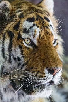 Nice portrait of Coto a Tiger