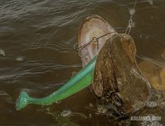 Haukishadit rigataan eli koukutetaan niin, että koukku irtoaa uistimesta kalan napatessa jääden roikkumaan vaijerin varassa