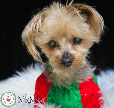 NikNak, the Yorkie. One of our Forever Care retirement program doggies. Christmas 2017, Yorkie, Pet Adoption, Retirement, Doggies, Pets, Little Puppies, Yorkies, Pet Dogs