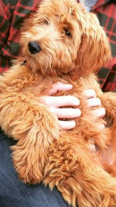 One day when I'm not poor, I will have a Goldendoodle Terrier Airedale, Yorkshire Terrier Puppies, Cute Puppies, Cute Dogs, Dogs And Puppies, Doggies, Chien Goldendoodle, Cockapoo, Goldendoodle Haircuts