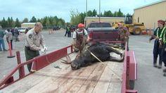 Dead moose