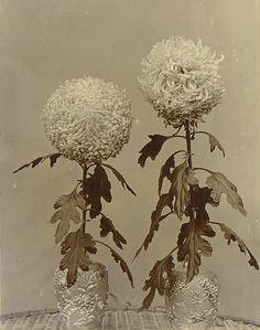 Granny Quicke, Chrysanthemums