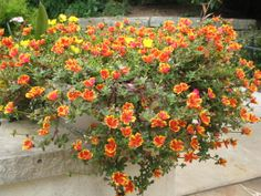 Portulaca Flowers, Portulaca Grandiflora, Portulaca Oleracea, Potted Plants, Garden Plants, Purslane Plant, Ice Plant, Plant Guide, Ground Cover Plants