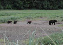 Juneau Bear Watching, Juneau Bear Viewing Tour, Alaska Bear Watching - Alaska Tours