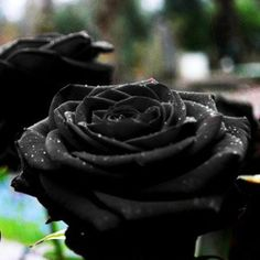 Blooming Black of Night Rose Bush Seeds30-seeds By Crazy Seed on Wanelo