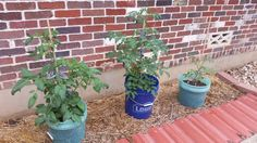 Central TX garden update 4/12 #gardening #garden #DIY #home #flowers #roses #nature #landscaping #horticulture