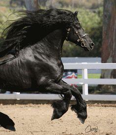 Wild black beauty