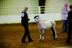 Showing miniature horses at halter♥♥
