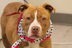 NAME: Sonya  ANIMAL ID: 25175589  BREED: Pit mix  SEX: female-spayed  EST. AGE: 2 yr  Est Weight: 34 lbs  Health: heartworm neg  Temperament: dog friendly, people friendly.  ADDITIONAL INFO: RESCUE PULL FEE: $49  Intake date: 3/16  Available: Now