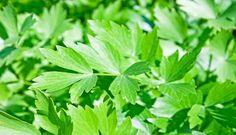 LEUȘTEAN cu MIERE – un tonic excelent pentru cei care se îmbolnăvesc des Landscaping With Rocks, Landscaping Plants, Permaculture, Marijuana Plants, Landscaping Supplies, Herb Seeds, Growing Herbs, Kraut, Herbs