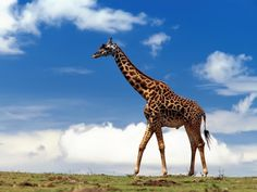 Las jirafas se convierten en especie en peligro de extinción