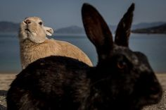 Credit: Chris McGrath/Getty Images Rabbits on the beach on Okunoshima Island in Takehara, Japan. Okunoshima is a small island located in the Inland Sea of Japan in Hiroshima prefecture. Often called Usagi Jima or 'Rabbit Island', it is famous for its rabbit population that has taken over the island and become a tourist attraction in its own right. During world war two the island was used as a poison gas facility, and was so secret that it was removed from area maps. Today the ruins of the…