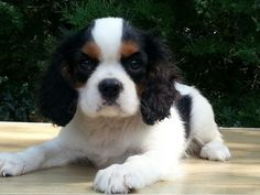For sale: Cavalier King Charles  - Male /  Trico