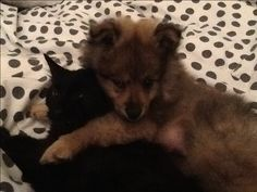 Spitz Pomeranian, Puppies, Dogs, Animals, Cubs, Animales, Animaux, Doggies, Baby Dogs
