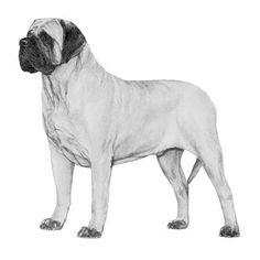 Mastiff Dog Breed Information Mastiff Dog Breeds, Akc Breeds, Mastiff Puppies For Sale, Old Dogs, New Tricks, Labrador Retriever, German Shepherds, Animals, Labrador Retrievers