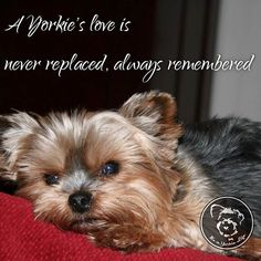 Yorkie love is special.