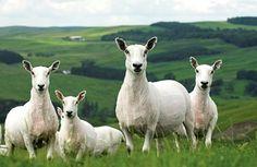 Cheviot Sheep after shearing