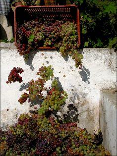 <3 grape harvest <3