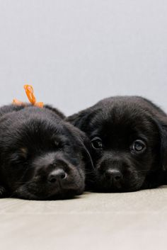 Most up-to-date Free of Charge Labrador Retriever golden Suggestions Have you only delightful a brand new Labrador Retriever straight into the home? Black Puppy, Black Lab Puppies, Cute Puppies, Cute Dogs, Golden Labrador Puppies, Black Labrador Retriever, Labrador Retriever Dog, Golden Retrievers, Baby Animals