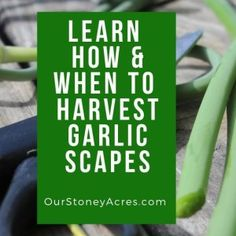Using garlic scapes gives you an early second harvest from your garlic plants. Garlic scapes are a tasty addition to your early summer menu. Growing Onions From Seed, When To Harvest Garlic, Everbearing Strawberries, Varieties Of Tomatoes, Winter Crops, Tomato Season, Drip Irrigation System, Tomato Cages, Fall Plants