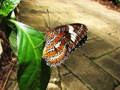 Class:Insecta Order:Lepidoptera Family:Nymphalidae Genus:Cethosia Species:penthesilea Common Name:Orange Lacewing