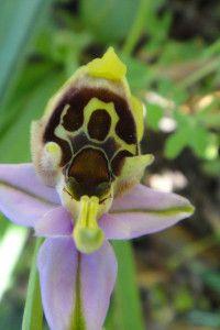 Blumen auf Kreta Griechenland (Orchideen)
