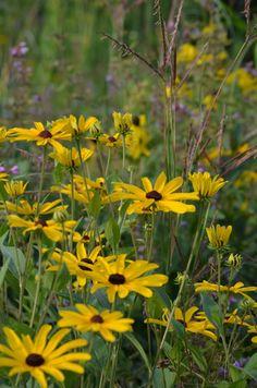Prairie Moon Nursery :: Seeds :: Rudbeckia subtomentosa (Sweet Black-eyed Susan)
