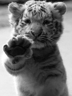 baby tiger, I want!