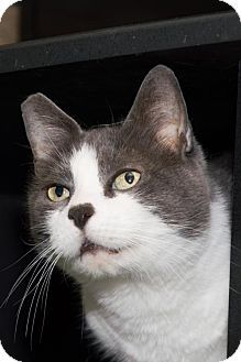 Philadelphia, PA - Domestic Shorthair. Meet Snarf *Video*, a cat for adoption. http://www.adoptapet.com/pet/3514239-philadelphia-pennsylvania-cat