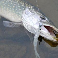 Fin-S Fisch Test | Simfisch.de - Angeln und Outdoor! Spin, Fishing, Pets, Animals, Outdoor, Outdoors, Animales, Animaux, Animal