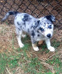 Check out Quincee's profile on AllPaws.com and help her get adopted! Quincee is an adorable Dog that needs a new home. https://www.allpaws.com/adopt-a-dog/husky-mix-australian-shepherd/1382550?social_ref=pinterest