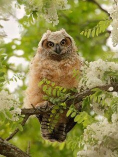 Great Horned Owl...fledgling