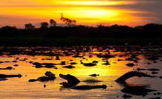 Jacarés em Poconé, Mato Grosso Sul - BRASIL