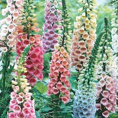 Foxglove - An old-fashioned favorite, foxglove features tall spikes of bell-shaped flowers. Not only is it elegant, but foxglove is extremely hardy and easy to grow. Foxglove is also known for its resistance to pests and diseases. So if you want to increase your garden's pest resistance, try planting foxglove along the borders. Check out our complete selection of foxglove today and tell the plant munchers they're out of luck in your yard!