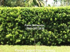 Vines podocarpus hedge, hedge wall wedding, front garden hed… – Modern Design - Modern Ficus Hedge, Bamboo Hedge, Cedar Hedge, Rose Hedge, Flower Hedge, Privacy Hedge, Beech Hedge, Bamboo Fencing