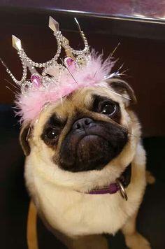 Pug Princess! Who needs a Disney Princess when you've got a Pug Princess!