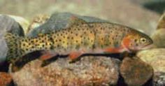 Montana Fish - Blackspotted Cutthroat Trout