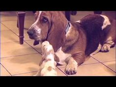 Basset Hound Babies Meet Daddy! Way Too Cute! - YouTube
