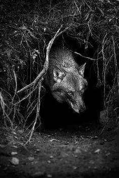 Son carnívoros por naturaleza. Su dieta mayor es a base de mamíferos ungulados como bisontes, alces y varias clases de ciervos, animales que capturan en equipo debido a su enorme tamaño. De un ciervo adulto pueden comer hasta 10 lobos.