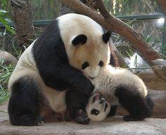 San Diego Zoo playing pandas