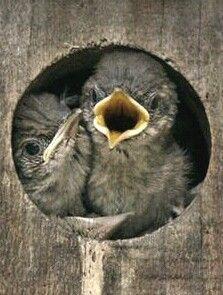 Baby birds in a birdhouse