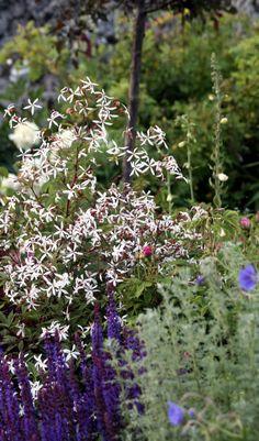 Trebladsspira, Gilleni trifoliata
