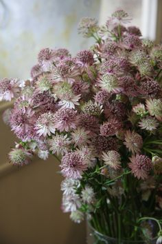 Astrantia major Roma - vase full of cut flowers