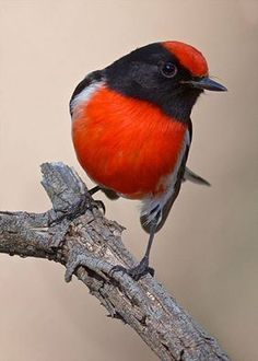 Red Capped Robin — with Beth Martins, Nuiny Starry, Jun Rattikorn, Cecilia Rojas Cespedes and Ravinder Rana.